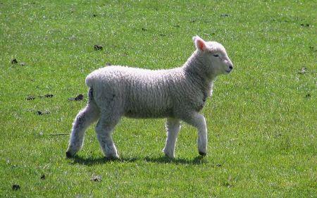 800px-Dunedin_lamb_spring_2008